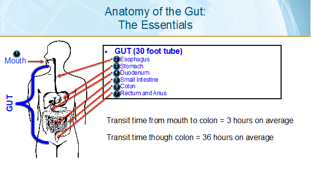 Anatomy of the Gut